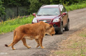 Smečka se rozpadla pro vnitřní konflikty. Otevření lvího safari to neohrozí.