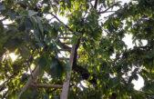 Mají Trutnováci rádi třešně zadarmo, nebo raději za peníze? Experiment byl zahájen